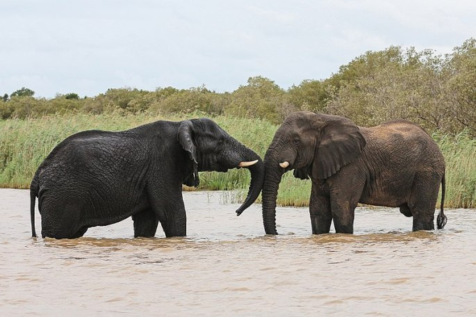 800px-African_elephants,_Lake_St_Lucia_01